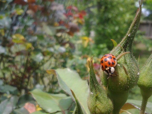 ladybug comiendo